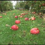 落ちたリンゴも落ちないリンゴどっちも売れる!